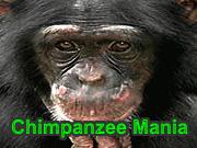 Chimpanzee Mania