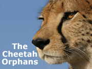 The Cheetah Orphans