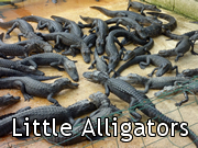 Little Alligators